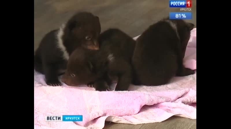 Коробку с медвежатами подбросили к питомнику К 9 в Иркутске