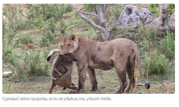 Зачем обезьяны воруют львят?