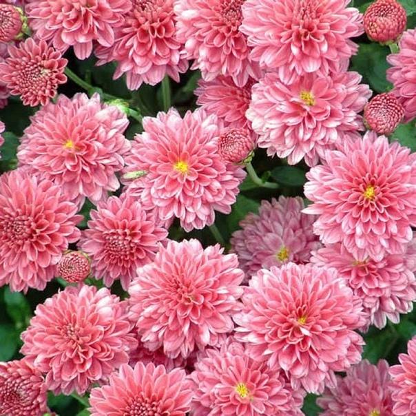 ЛЕЧЕБНЫЕ СВОЙСТВА ХРИЗАНТЕМЫ Хризантема и её целительные свойства.Этот цветок, радующий разноцветьем до глубокой осени, наверное, любят все. Но хризантема не только красивое растение, она имеет