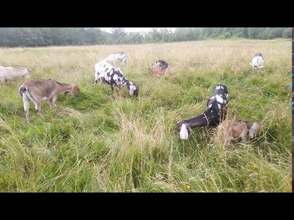Деревенская жизнь Коза или корова Что выгоднее держать коза корова выгода козьемолоко