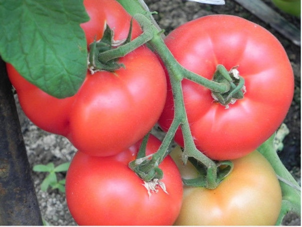 Проверенные подкормки для помидоров