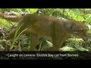 Caught on camera: Elusive bay cat from Borneo