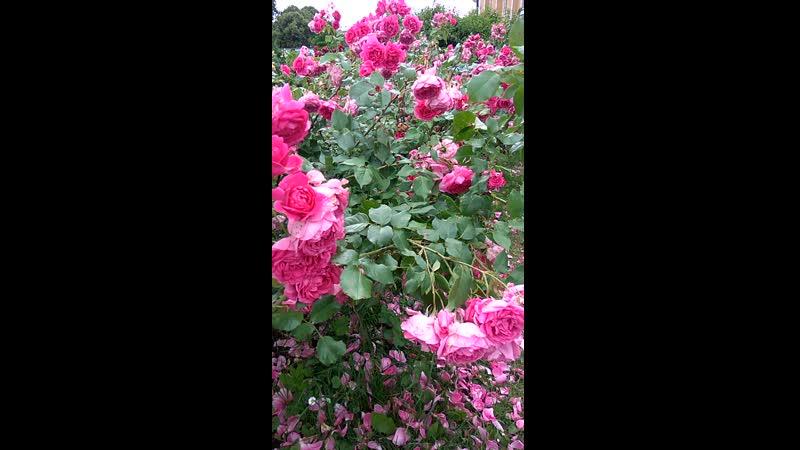 Розарий Ботанического сада Петра Великого Спб 11 июля 2020