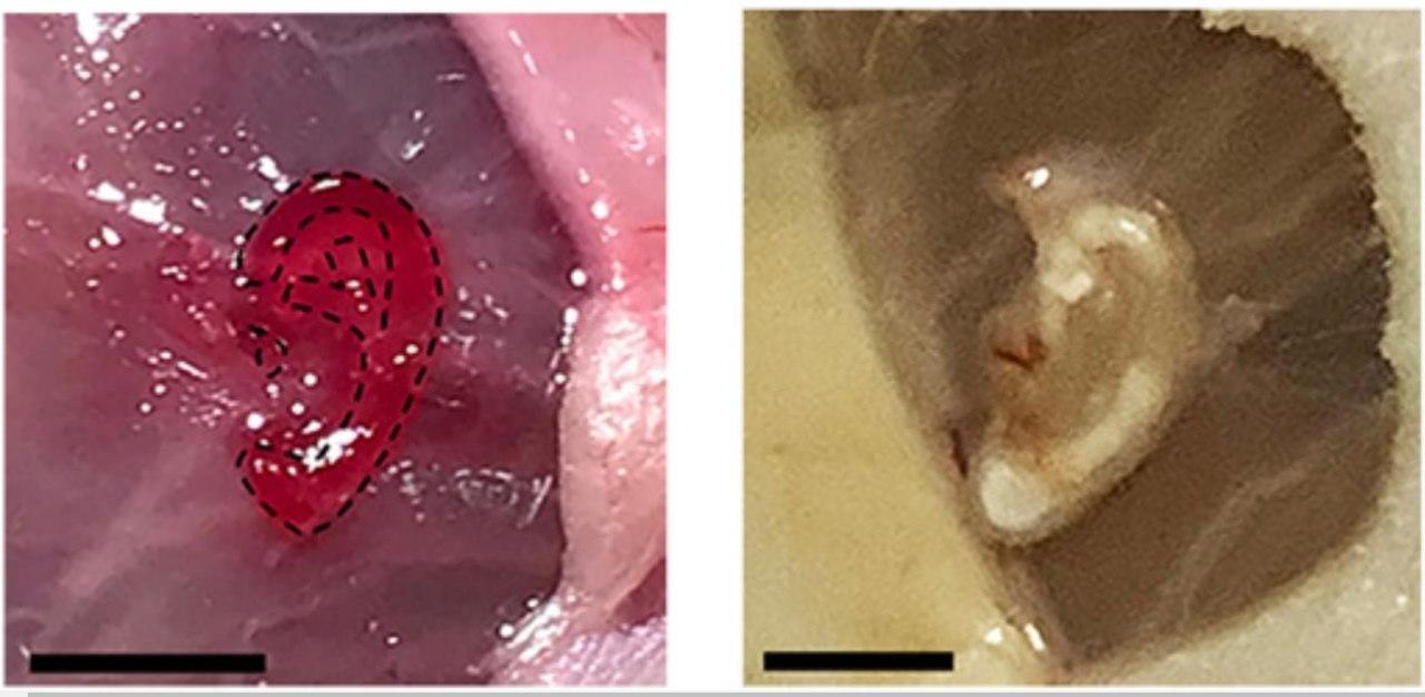 3D-биопринтер напечатал ухо сквозь кожу мыши
