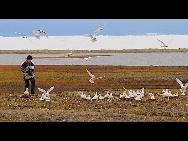 Белая чайка Человек и птица Архипелаг Северная земля