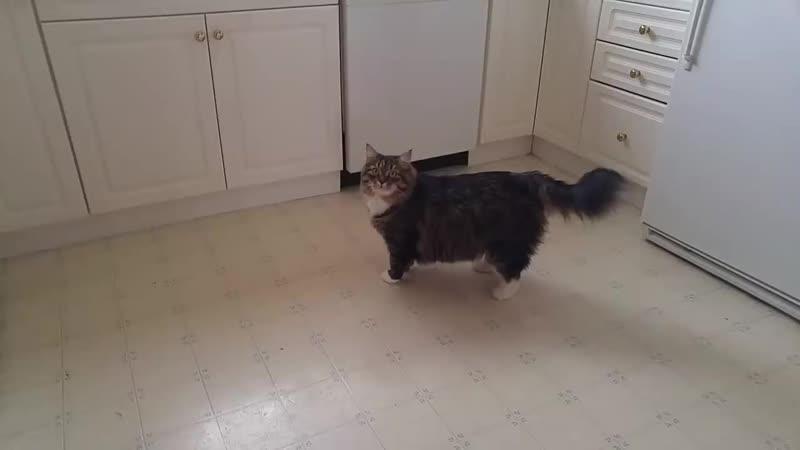 Говорящего кота - не переговорить! Уссури жжет) Сибирский кот