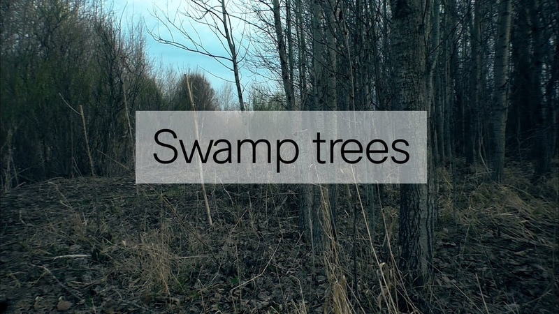 Swamp trees Болотные деревья