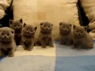 Шотландские вислоухие котята (покупаю).