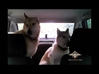 В Карелии сотрудник Госавтоинспекции помог двум потерявшимся собакам вернуться к хозяину