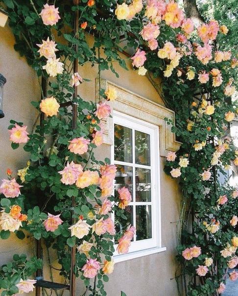 Плетистыми розами можно украсить фасад дома или других построек на участке.