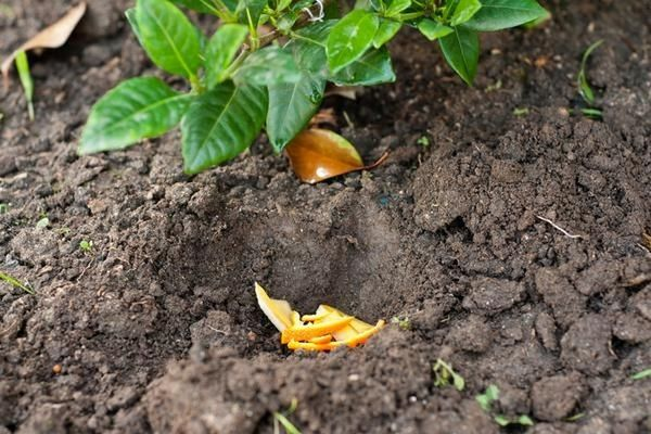 За что дачники так любят апельсиновые корки