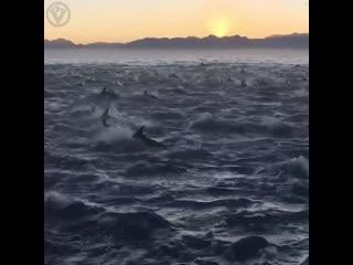 Невероятно огромная стая дельфинов
