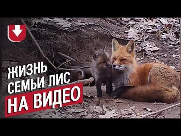Скрытые камеры в лесу целый год снимали жизнь семьи лис