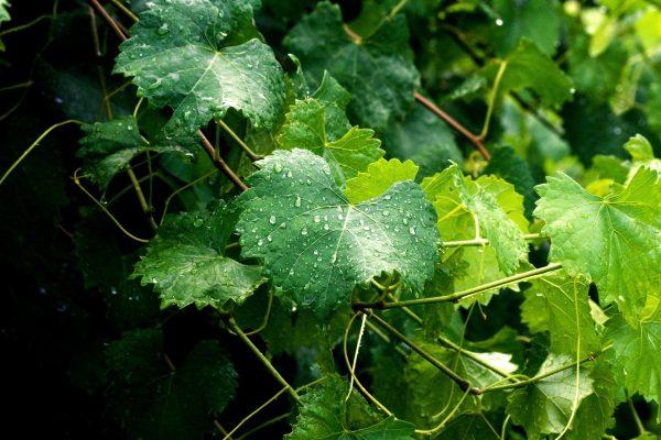 Чем полезны виноградные листья Выводит соли, улучшает зрение, чистит кровь, укрепляет иммунитет и не только Виноградные листья входят в состав многих кулинарных рецептов мира, особенно в
