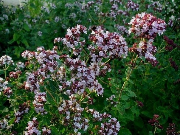 ЧАБЕР Чабер садовый (Satureia hortensis L.) однолетнее растение высотой 40-70 см семейства яснотковые (Lamiaceae) высотой до 50 см. Однолетник со стержневым корнем и прямостоячими ветвистыми