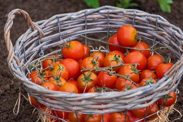 Если  болеют томаты... Шпаргалка