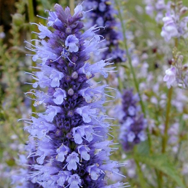 Лофант анисовый - лекарственное растение на дачном участке