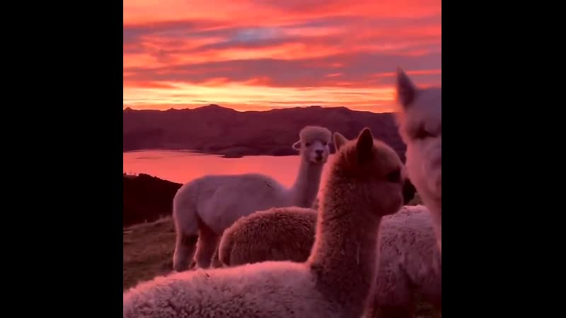 Oh to be an alpaca in new zealand