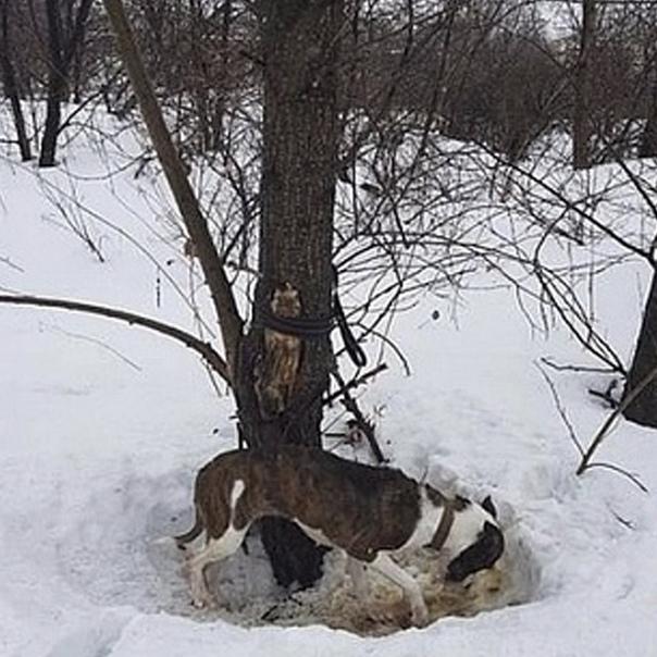 В Новосибирске хозяева решили избавиться от собаки и привязали ее к дереву, оставив там умирать Около недели она провела на морозе без еды, пока на нее случайно не наткнулись люди. Как