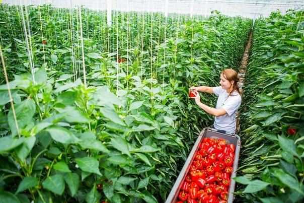 Бизнес-идея: Выращивание перцев в теплице Имея свой собственный, пусть и небольшой, участок земли, можно засадить его какой-либо культурой и не только обеспечить себя полезными овощами,