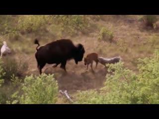 Бизон героически защищает своего детеныша от волков.