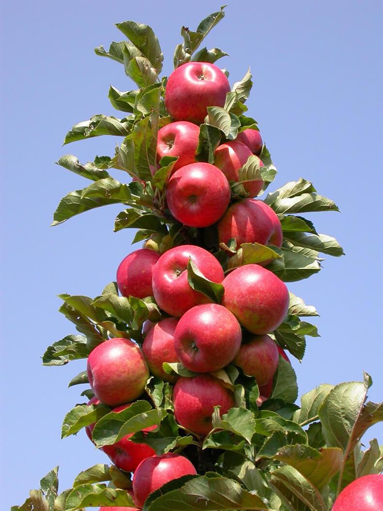 бесплатно яблоня колоновидная останкино фото соцсетей восторге такой