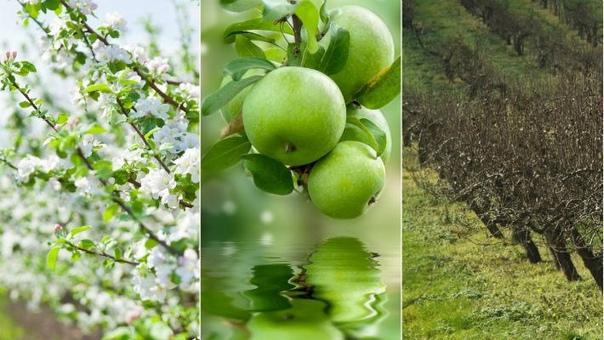 Календарь подкормок яблони и груши с весны до осени