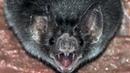 Летучая МЫШЬ – опасный ВАМПИР или сборщик нектара? Интересные факты о летучих мышах. Рукокрылые.