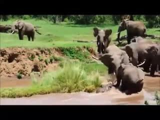 Маленького слоненка унесло течением... Только посмотрите, что делают остальные!