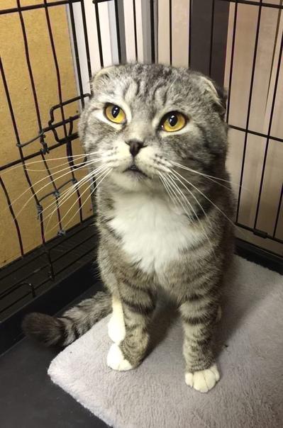 Ищет семью вислоухий кот шиншиллового окраса!Больш...