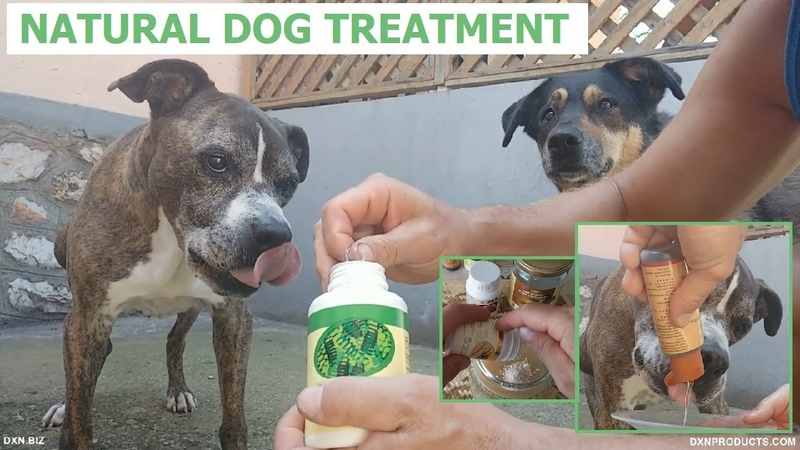 Natural dog treatment with DXN products Spirulina Organic Virgin Coconut Oil Cordyceps and Poria