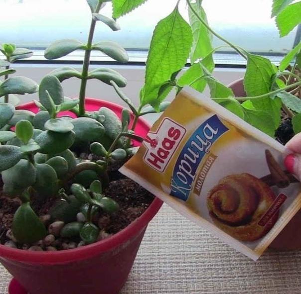 А Вы посыпаете вазоны корицей Корица естественный фунгицид!!!Достаточно один раз в месяц сверху на почву в горшок (объем 1,5-2 литра) насыпать половинку чайной ложки порошка корицы, а далее