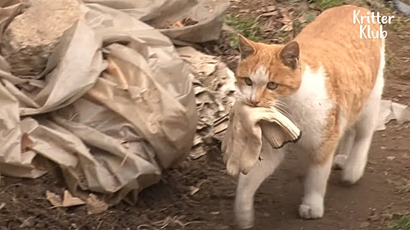Always Pay My Debt! Stray Cat Delivers This To Pay Back Her Lifesaver | Kritter Klub