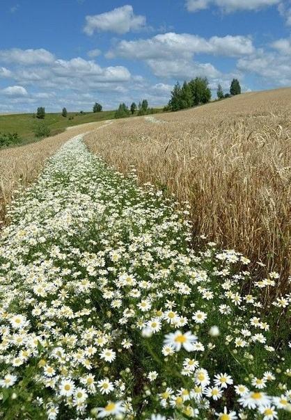 Ромашковая река, пшеничные берега...