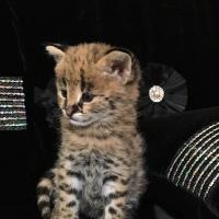 Royal Status-Cat