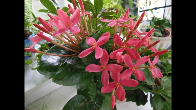 Комнатные растения цветы Иксора пламя джунглей традесканция фиалки хойя