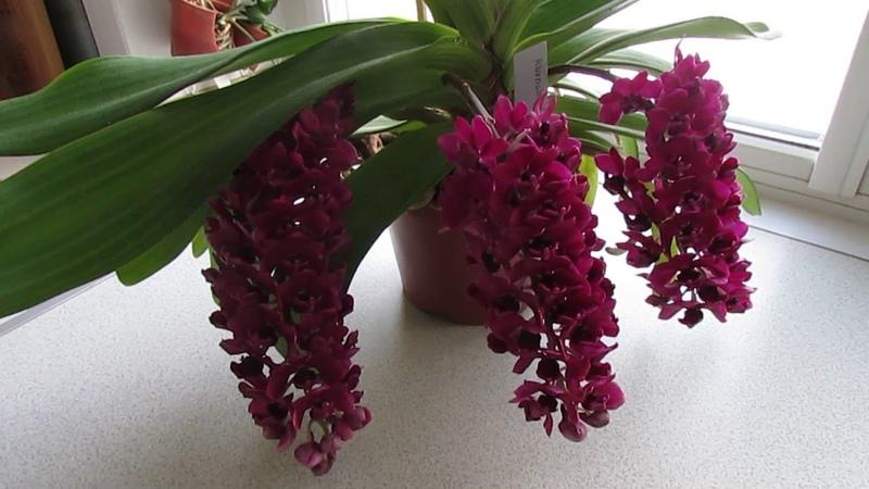 Цветение орхидеи ринхостилис rhynchostylis gigantea red