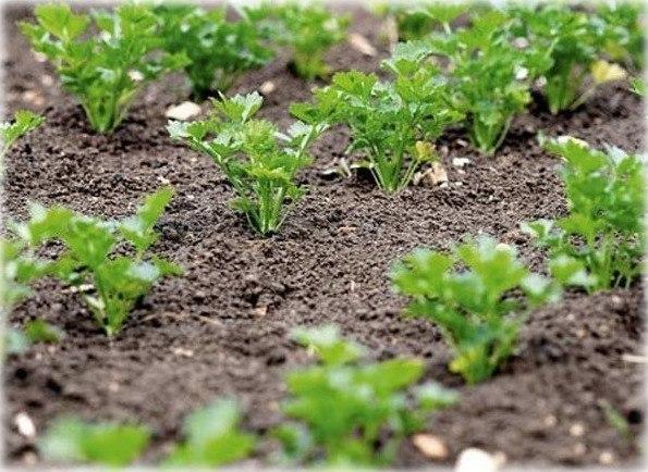 Петрушка всходит за 3 часа Размочите семена петрушки в свежем молоке и, трижды посыпав предназначенную для посева землю негашеной и мелкотертой известью, высадите в нее подготовленные семена,