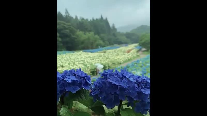 Сезон цветения гортензий в Японии