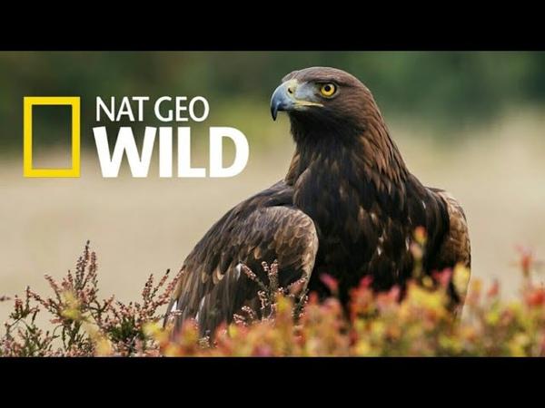 Nat Geo Wild Дикая природа Великобритании